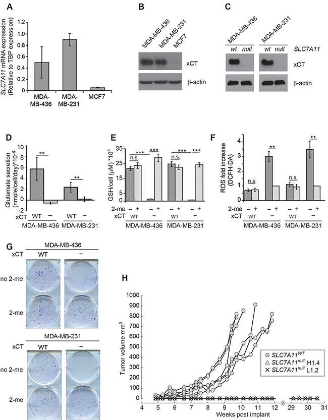 SLC7A11 targeting reduces intracellular glutathione and prevents growth in vitro and in xenograft.