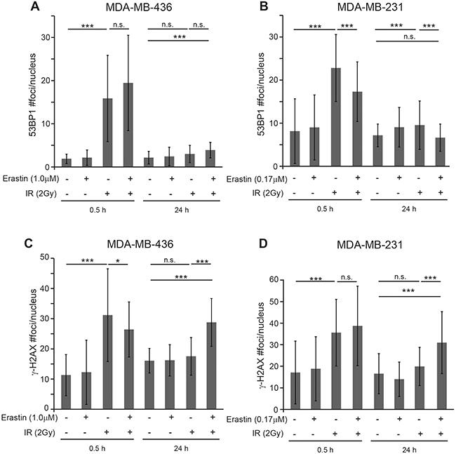 Erastin sensitization produces sustained γ-H2AX foci.