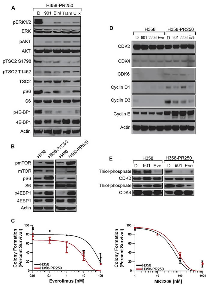 ERK1/2 promotes palbociclib resistance through the activation of the mTOR pathway.