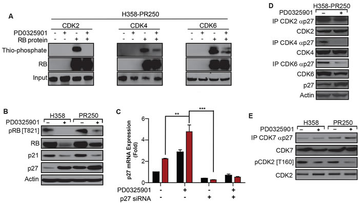 PD0325901 down-regulation of CDK2 activation in palbociclib-resistant cells is dependent on p27