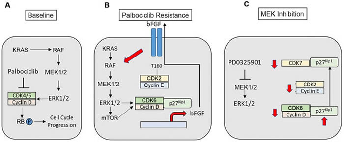 Modeling of palbociclib resistance in