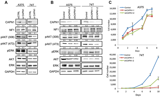Suppression of CAPN1 by shRNA stabilizes NF1 levels and affects Ras signaling and cell proliferation.