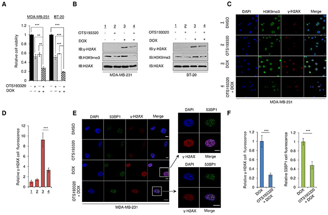 Combination of OTS193320 and DOX attenuates levels of γ-H2AX in cancer cells.