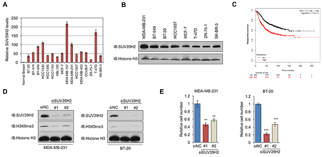 SUV39H2 is overexpressed in breast cancer cells and induces H3K9 tri-methylation.