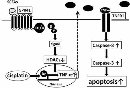 Model of enhancement of cisplatin-induced apoptosis in HepG2 cells mediated by GPR41, a SCFA receptor.