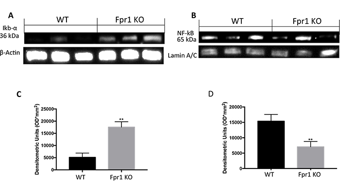 Effect of Fpr1 gene deletion on IκB-α degradation and NF-κB.
