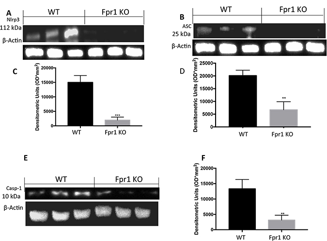 Effect of Fpr1 gene deletion on NRPL3, ASC and Caspase-1 expression.