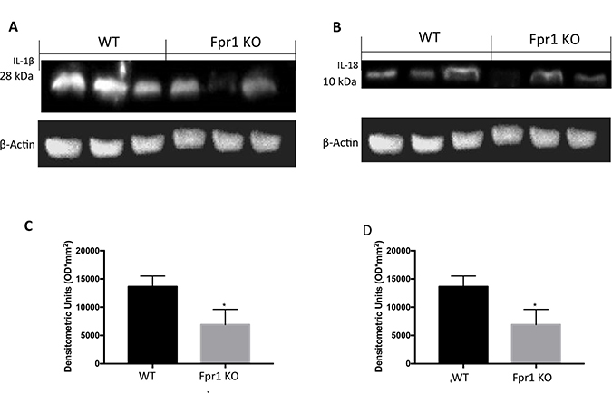 Effect of Fpr1 gene deletion on IL-1β and IL-18 expression.