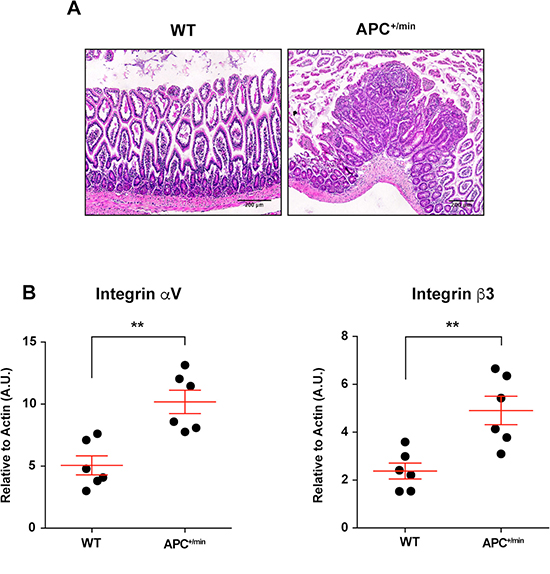 Integrin αVβ3 expression in small intestine of 18 weeks old APC+/min and WT mice.