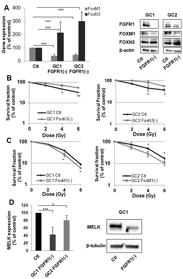 FGFR1 inhibition modifies FOXM1 and FOXN3 expression which are implicated in sensitization to radiation of cells derived from GBM biopsy specimen.