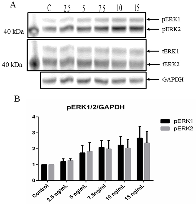 CCL17/TARC upregulates ERK1/2 activity.