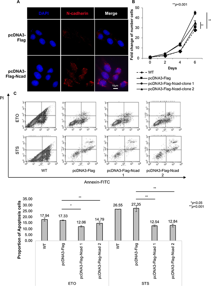 N-cadherin overexpression protects cancer cells from apoptosis.