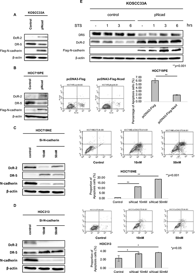 Enforced expression and knock-down of N-cadherin expression alters the expression of DR-5 and DcR-2.