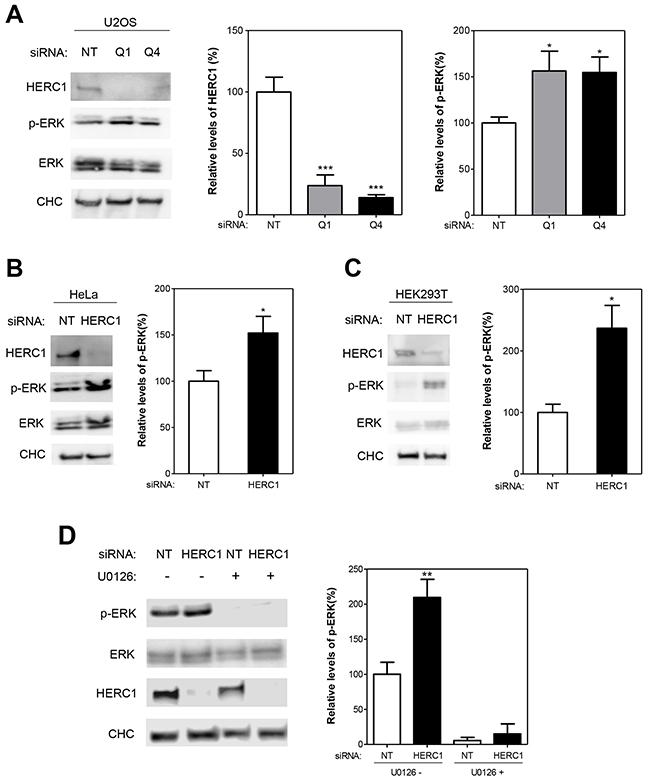 HERC1 regulates ERK signaling.