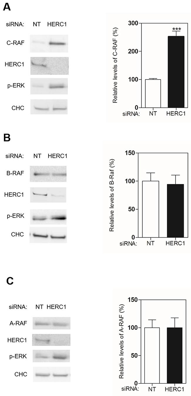 HERC1 regulates C-RAF protein levels.