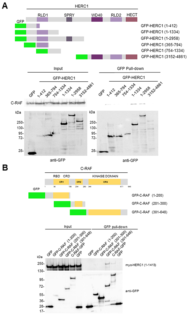 Domains involved in the interaction between HERC1 and C-RAF proteins.