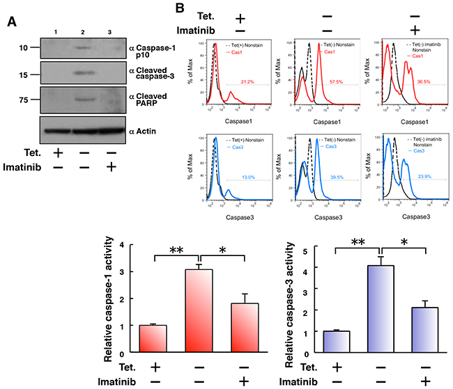 Tet-regulatable overexpression of p210BCR-ABL activates both caspase-1 and caspase-3 in 32D/TetOff-p210 cells.