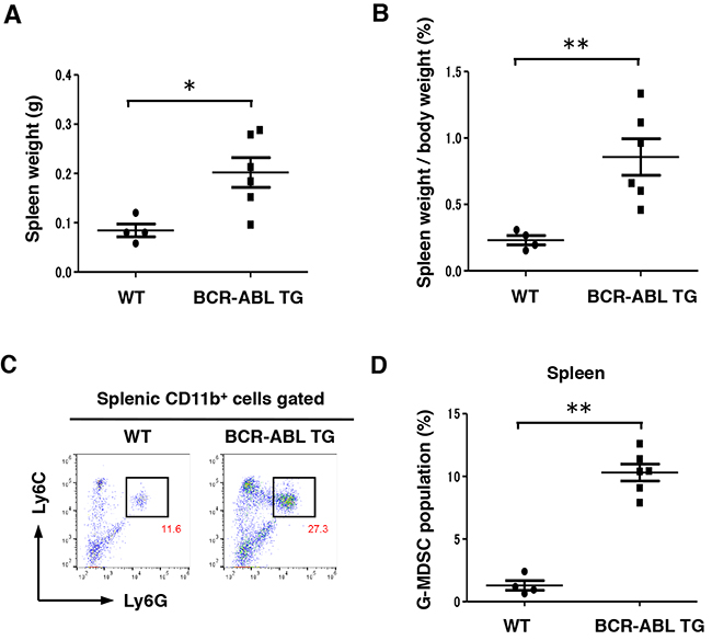 Differentiation into G-MDSC was enhanced in the spleen of BCR-ABL TG mice.
