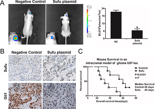 Sufu inhibited glioma in vivo growth and prolonged survival time.