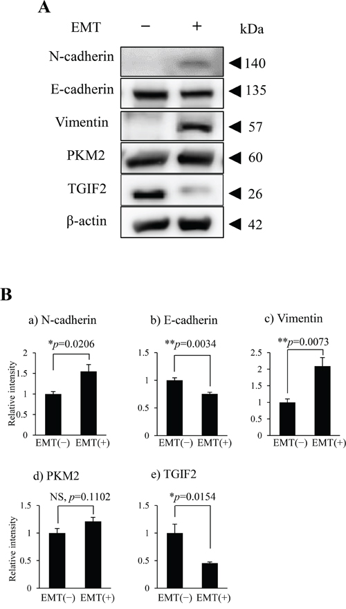 PKM2 and TGIF2 expression in HSC-4 cells in the EMT unstimulated condition (EMT (-)) and stimulated condition (EMT (+)).