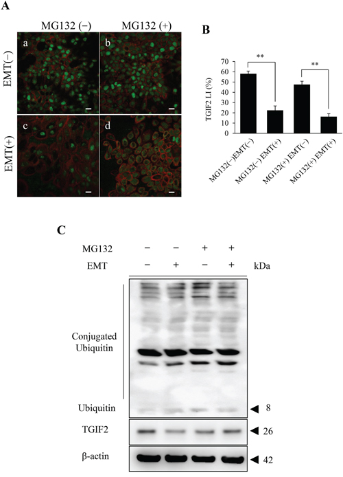 Analyses of the effect of the proteasome inhibitor MG132 on the TGIF2 expression in HSC-4 cells in EMT (+).
