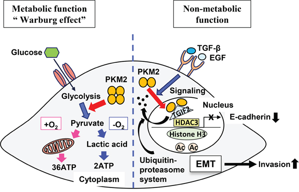 A schematic illustrating the theoretical model revealing roles of PKM2 and TGIF2 regulation.