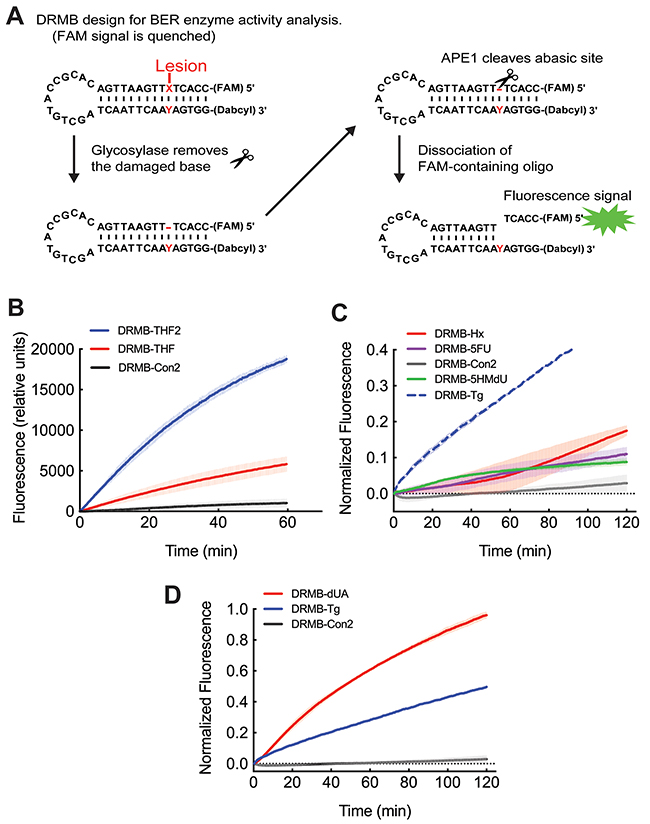The new DNA repair molecular beacon (DRMB) design has increased sensitivity and enables measurement of several endogenous DNA repair protein activities with lesion specific molecular beacons.