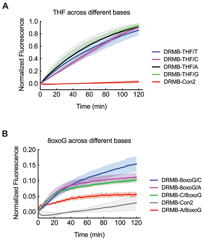 Increased sensitivity of the DRMB assay reveals subtle differences in incision or excision rates dependent on the base opposite the lesion.