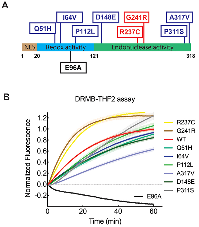 DRMB assay detected functional changes of APE1 with single amino acid substitutions.