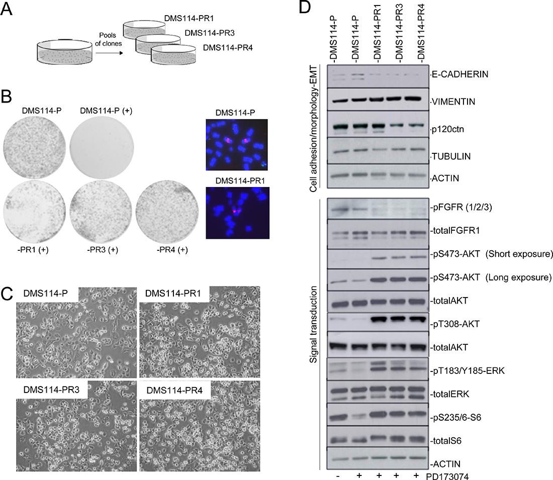 Generation of AR to FGFR1 inhibitors involves de novo activation of AKT and ERK.