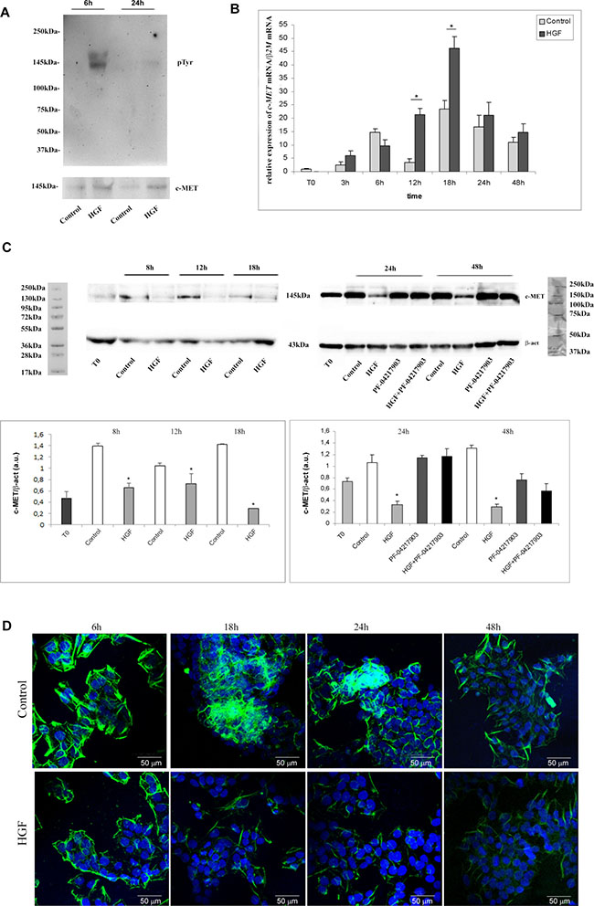 c-MET phosphorylation, expression, availability and distribution pattern in NT2D1 cells after HGF stimulation.