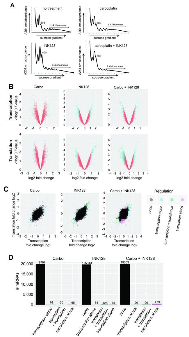 Transcriptomic and translatomic analysis of carboplatin re-sensitization by mTORC1/2 inhibition.
