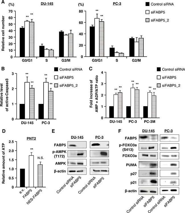 FABP5 knockdown induces starvation stress and activation of the AMPK-FOXO3A signaling pathway in PCa cell lines.