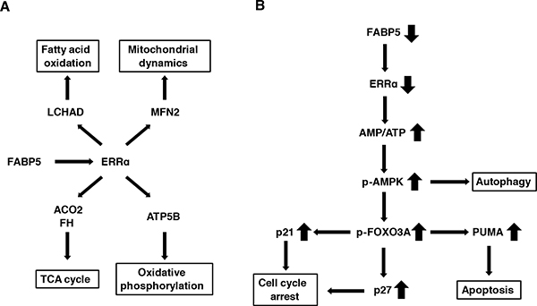 Schematic model for the FABP5-mediated transcriptional controlling network of mitochondrial functions in PCa cells.