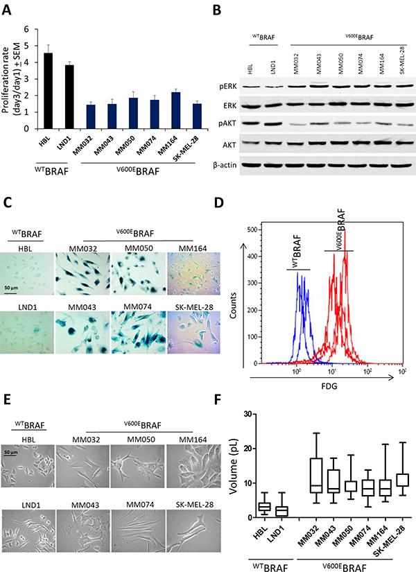 Effect of V600EBRAF mutation on ERK and AKT signaling, cell proliferation, β-Gal activity and cell morphology.