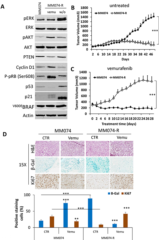 Drug addiction/dependency phenomenon in acquired resistance cells to vemurafenib.