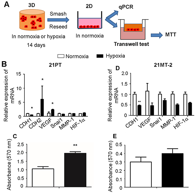 Effects of hypoxia on breast cancer cell migration in response to hypoxic and normoxic pre-conditioning are stage dependent.