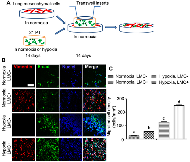 Hypoxia and LMC promoted 21PT migration from the breast cancer cell laden constructs to the hydrogel matrix.