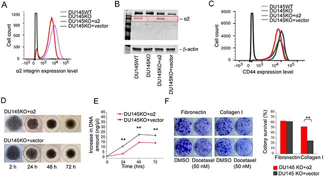 α2β1 integrin expression decelerates cell proliferation, but promotes resistance to docetaxel.