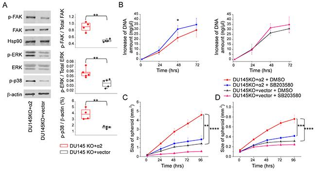 α2β1 integrin suppresses cell growth and promotes migration and invasion by increasing the phosphorylation of p38 MAPK.