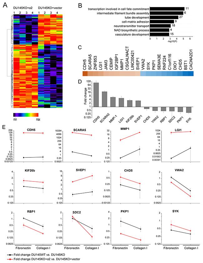 α2β1 integrin regulates the expression of cancer associated genes.