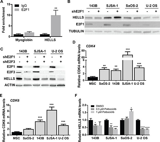 HELLS is a direct transcriptional target of the RB-E2F pathway.