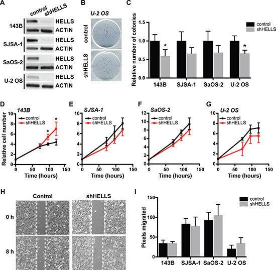 HELLS knockdown does not affect in osteosarcoma cell proliferation and migration.
