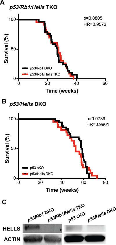 Hells has no effect on osteosarcoma tumorigenesis.
