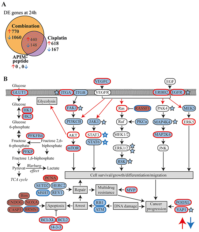 APIM-peptide in combination with cisplatin downregulates expression of frequently overexpressed genes in MIBC.