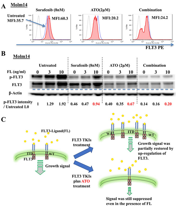 ATO induces down-regulation of surface FLT3 and reduces autocrine/paracrine activation by FLT3-Ligand.