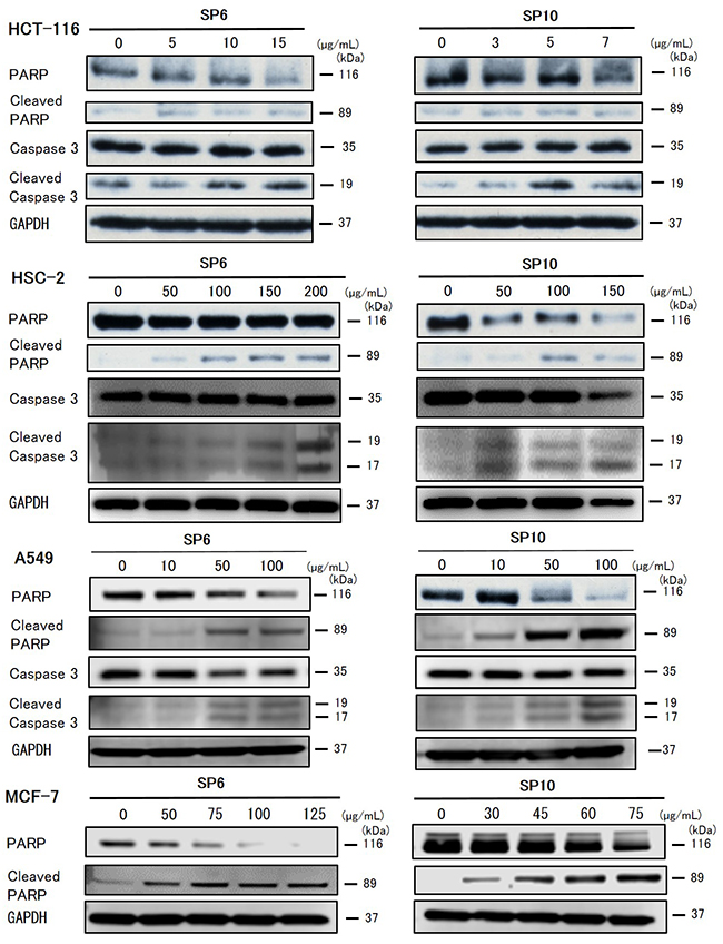 Western blot analysis of apoptosis in cancer cells in vitro.