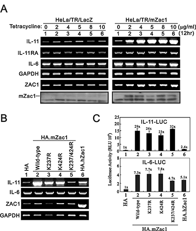 Effects of overexpressing Zac1 on the IL-11 mRNA and promoter in HeLa cells.