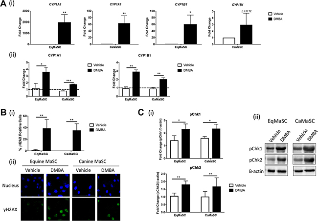 CYP enzymes are activated and DNA damage occurs in response to DMBA treatment in canine and equine MaSC.