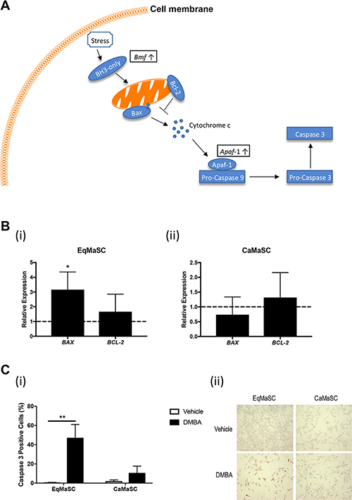 The intrinsic apoptotic pathway is activated in equine MaSC following DMBA treatment.